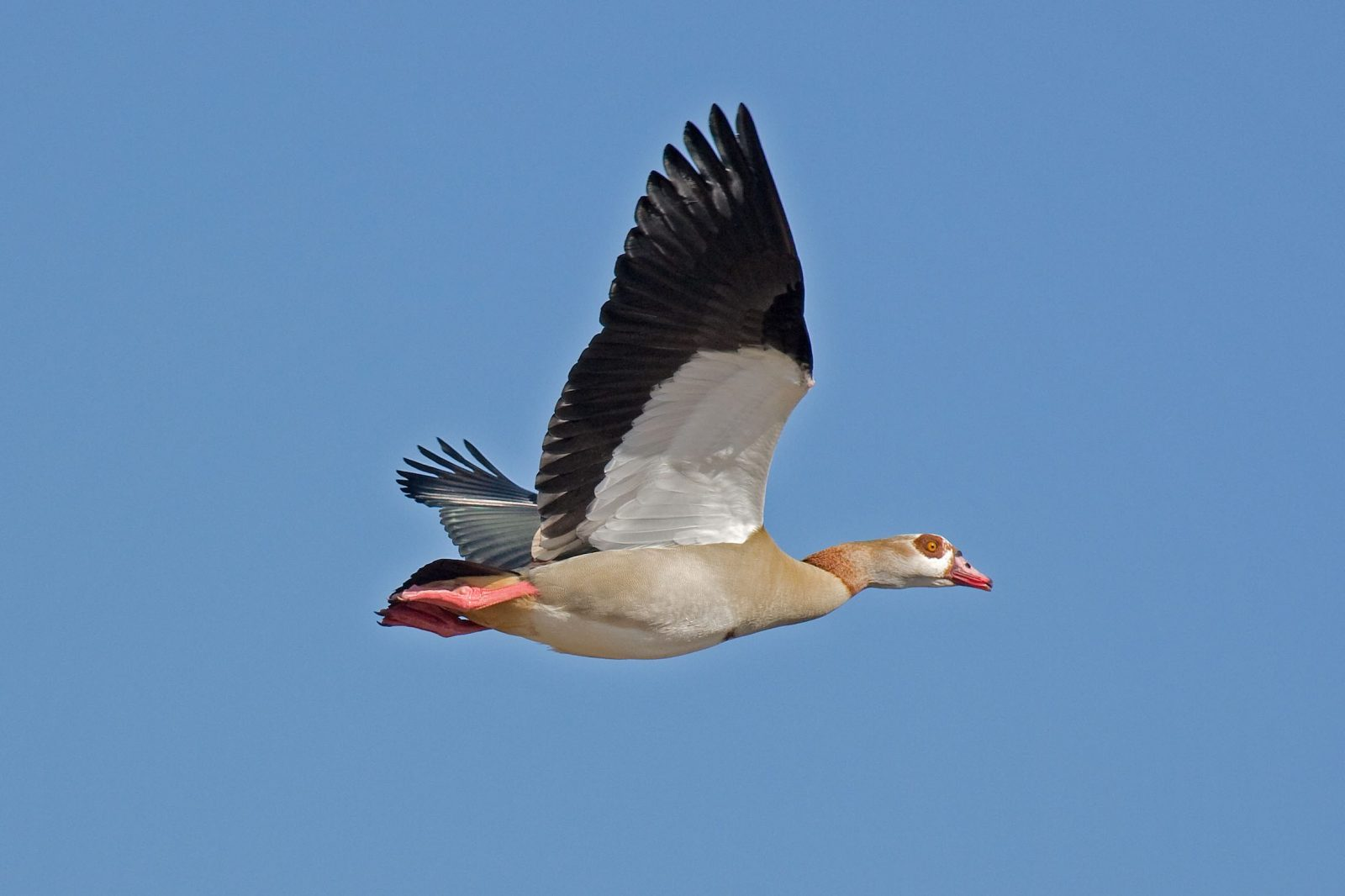 Egyptian Goose. Photo credit: Andreas Trepte. https://commons.wikimedia.org/wiki/File:Egyptian-Goose.jpg
