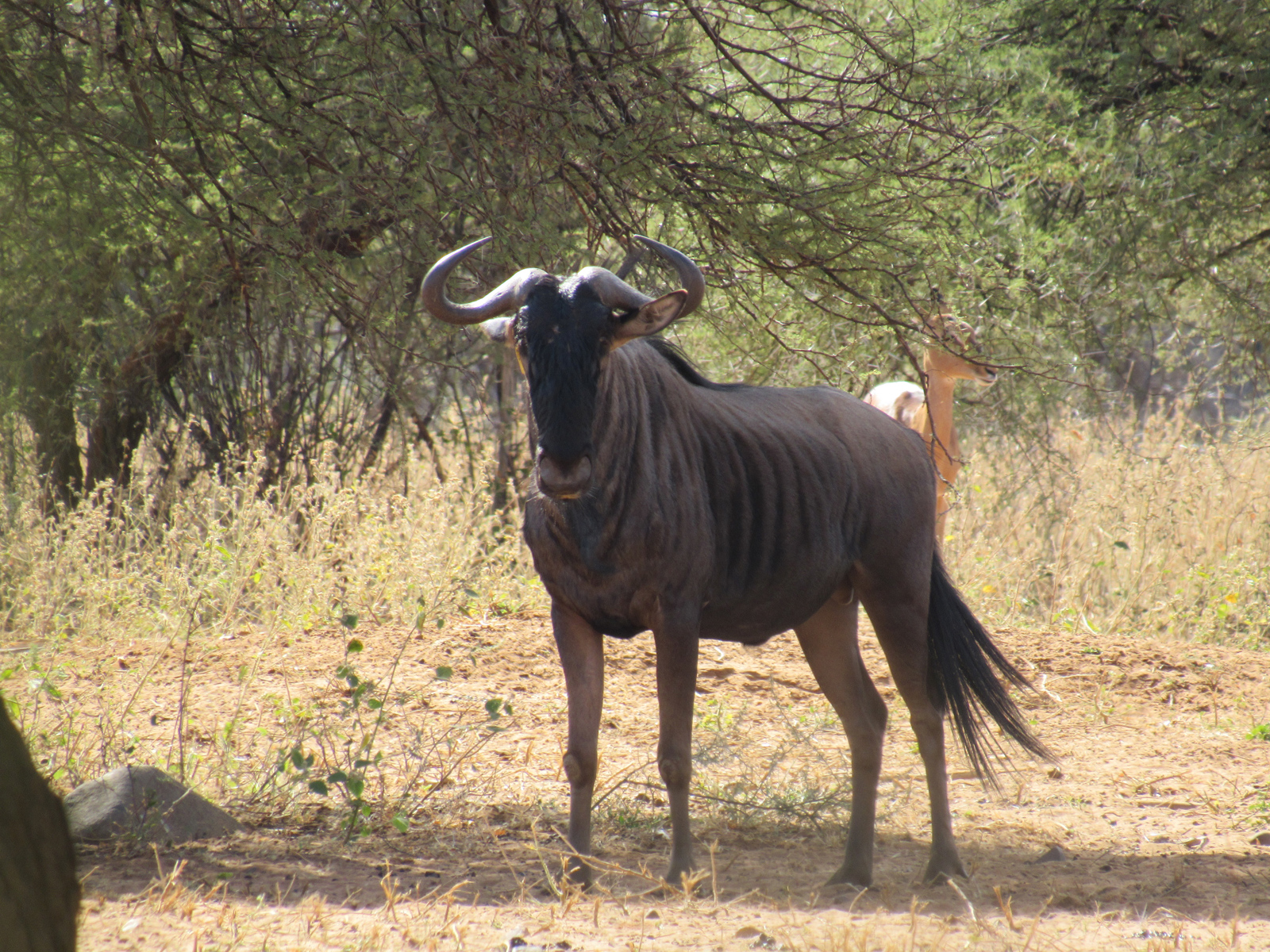 Blue Wildebeest. Photo by Chivic African Safaris.