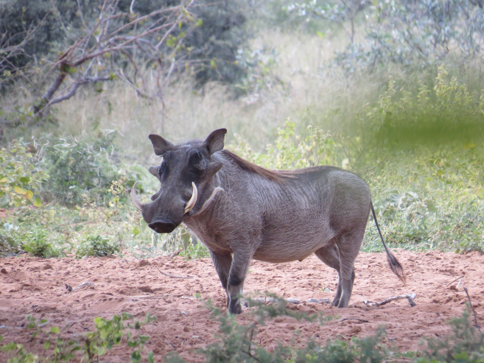 Warthog. Photo credit: Chivic African Safaris.