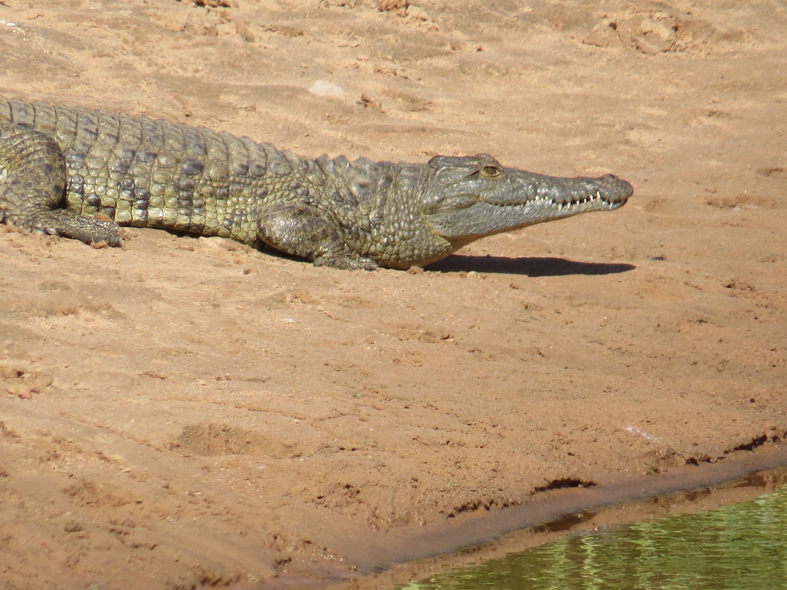 Crocodile. Photo by Chivic African Safaris