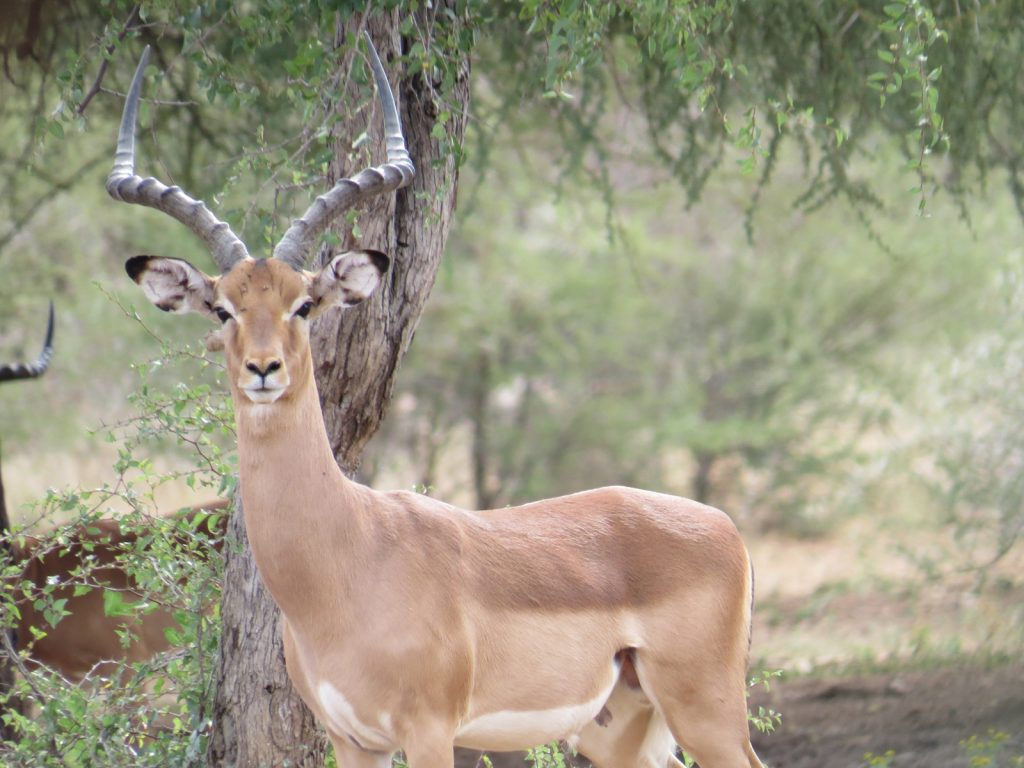 Impala. Photo credit: Chivic African Safaris