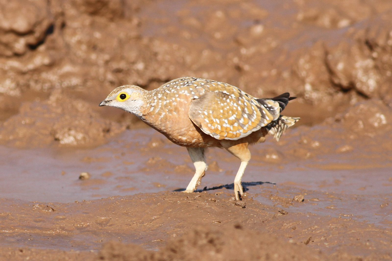 Sandgrouse. Photo credit: Derek Keats. https://commons.wikimedia.org/wiki/File:Burchell%27s_sandgrouse,_Pterocles_burchelli,_at_Mapungubwe_National_Park,_Limpopo,_South_Africa_(17358277633).jpg