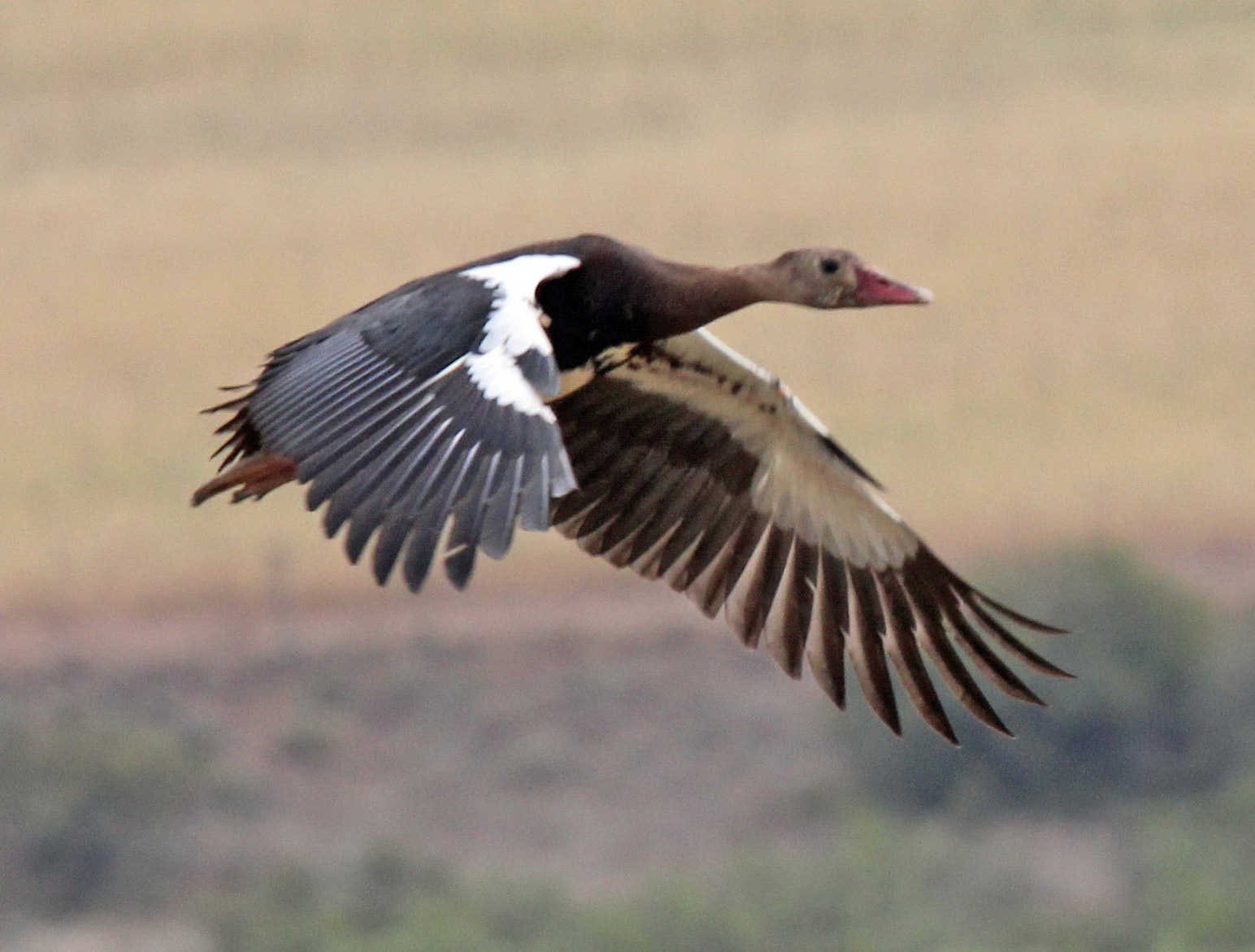 Spur-Winged Goose. Photo credit: Dick Daniels. https://commons.wikimedia.org/wiki/File:Spur-winged_Goose_RWD4.jpg