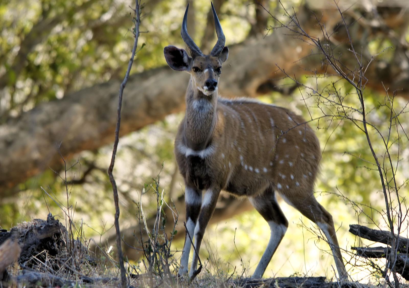 Bushbuck. Photo credit: Hans Hillewaert. https://commons.wikimedia.org/wiki/File:Tragelaphus_scriptus_(male).jpg