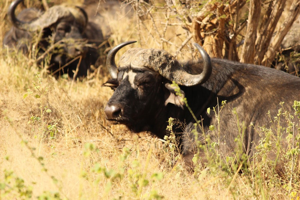 Cape Buffalo. Photo by Chivic African Safaris.