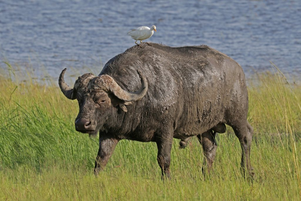 Cape Buffalo. Photo credit: Charles J. Sharp. https://commons.wikimedia.org/wiki/File:African_buffalo_(Syncerus_caffer_caffer)_male_with_cattle_egret.jpg