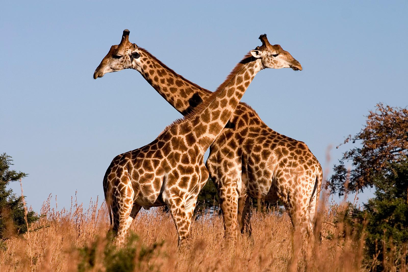 Giraffes. Photo credit: Luca Galuzzi. https://commons.wikimedia.org/wiki/File:Giraffe_Ithala_KZN_South_Africa_Luca_Galuzzi_2004.JPG