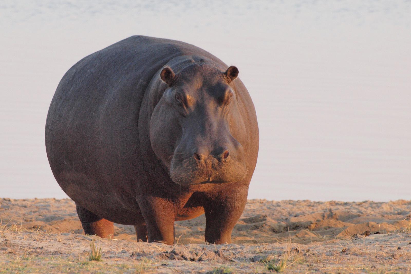 Hippopotamus. Photo credit: Gusjer. https://commons.wikimedia.org/wiki/File:Hippo_at_dawn.jpg