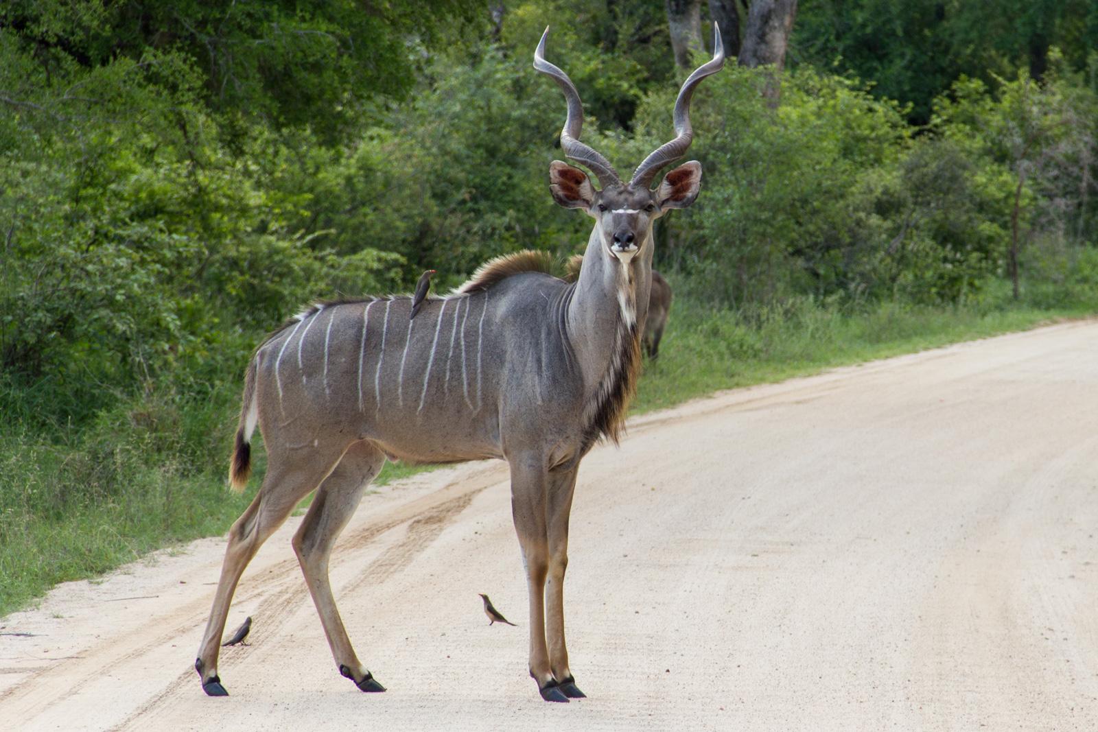 Kudu. Photo credit: Stefan Schäfer. https://commons.wikimedia.org/wiki/File:KuduKr%C3%BCger.jpg