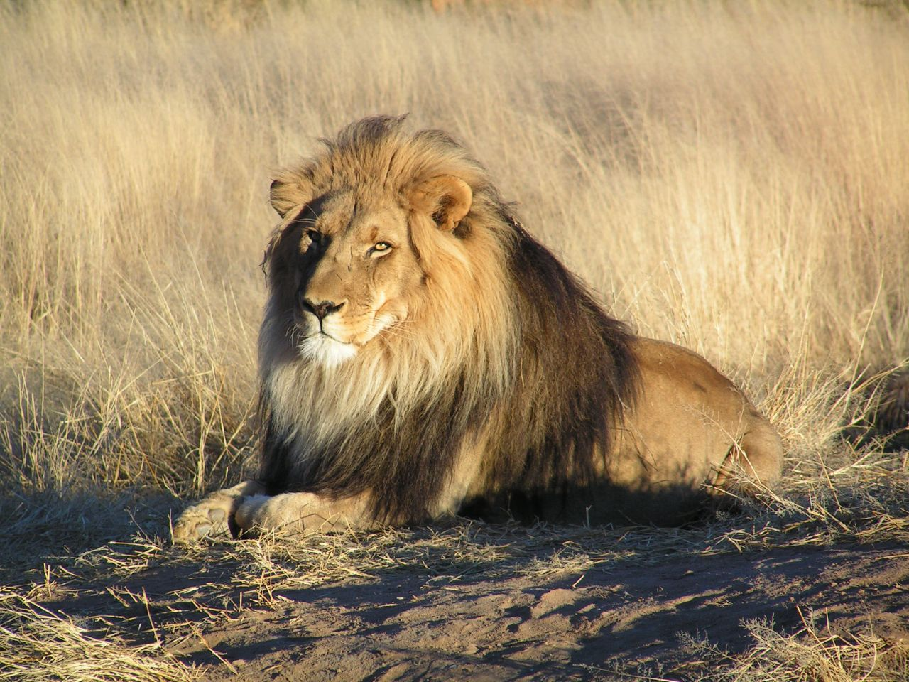 Lion. Photo credit: Kevin Pluck. https://commons.wikimedia.org/wiki/File:Lion_waiting_in_Namibia.jpg