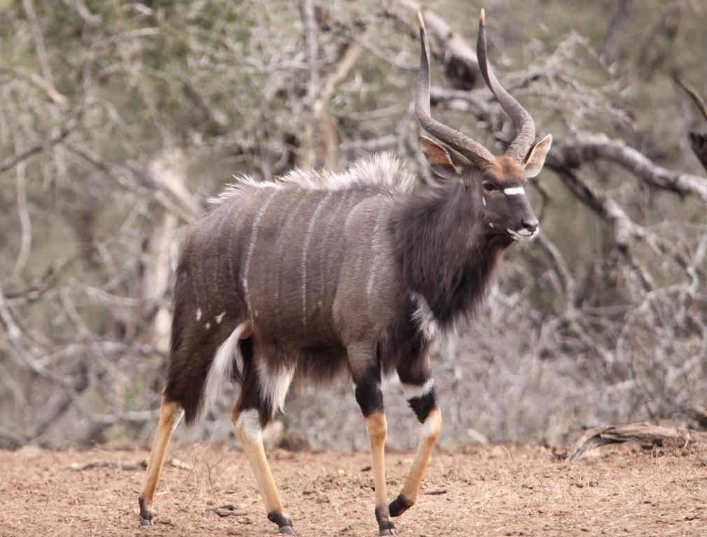 Nyala. Photo credit: Derek Keats. https://commons.wikimedia.org/wiki/File:Nyalas_male.jpg