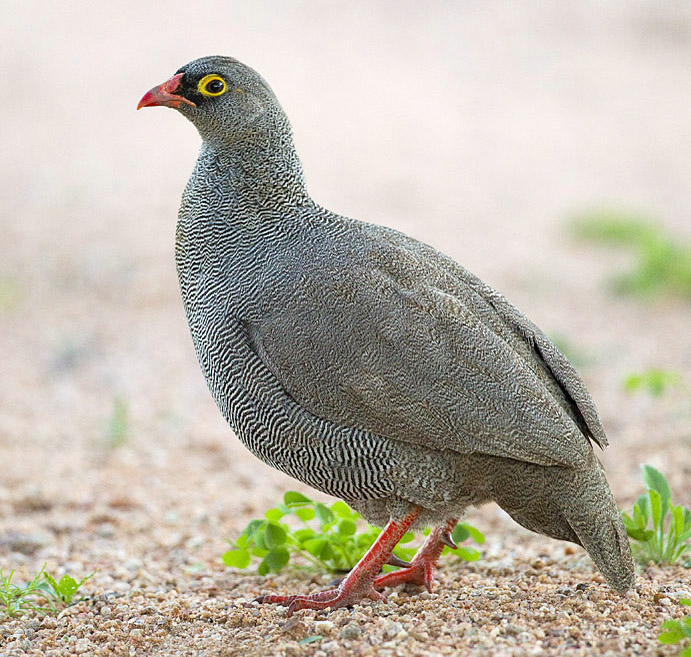 Red-billed Francolin. Photo credit: Yathin Sk. https://commons.wikimedia.org/wiki/File:2011-red-billed-francolin.jpg