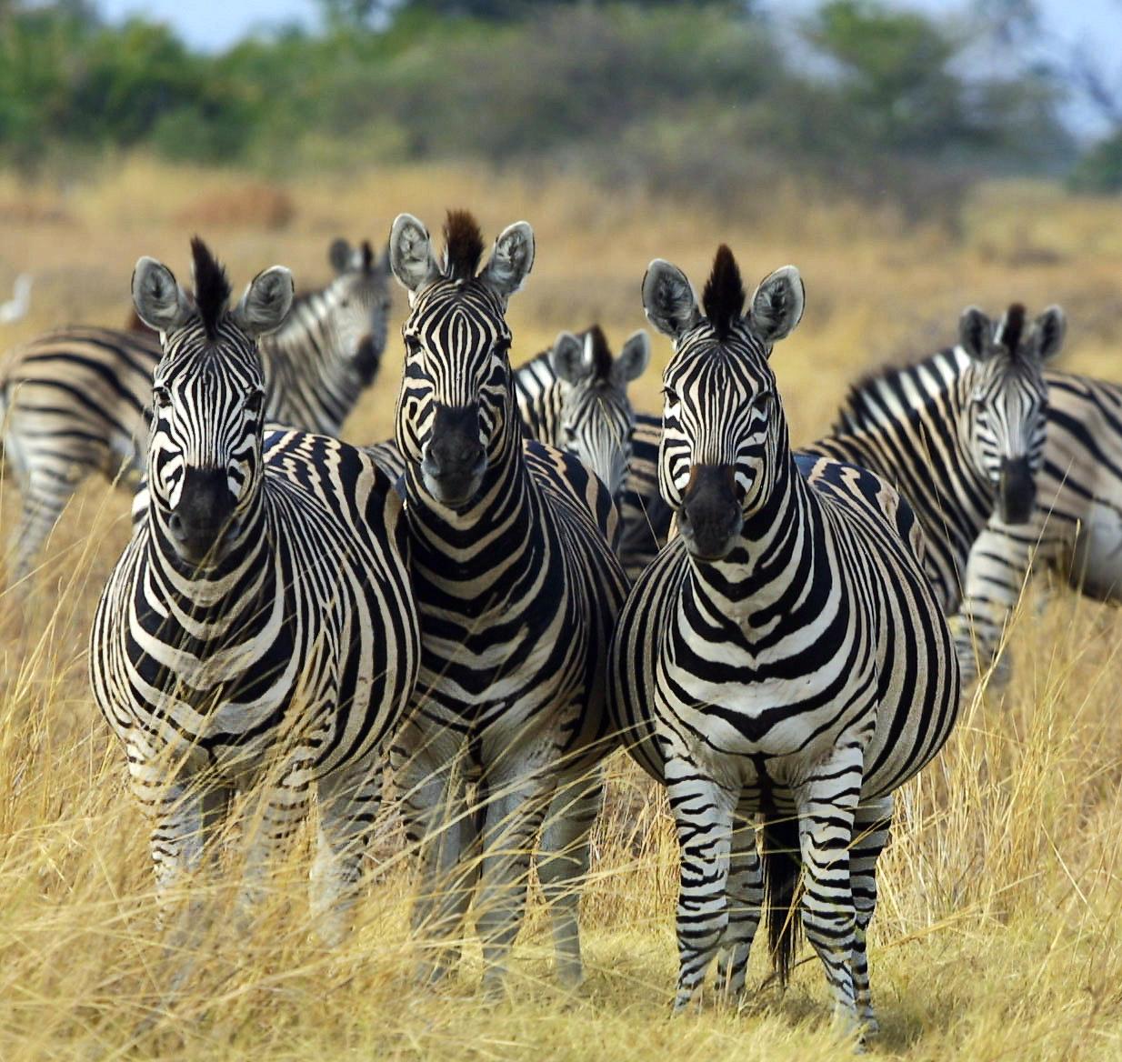 Zebra. Photo credit: Paul Maritz. https://commons.wikimedia.org/wiki/File:Zebra_Botswana_edit02.jpg